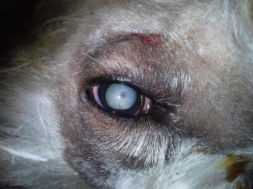 Szürkehályog kutyáknál szürkehályog tünetei de882ab312